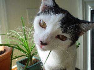 cat eating house plant