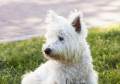 West Highlands Terrier, looking right, horizontal image