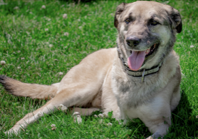 3-legged-Dog-laying-in-the-grass_600x400