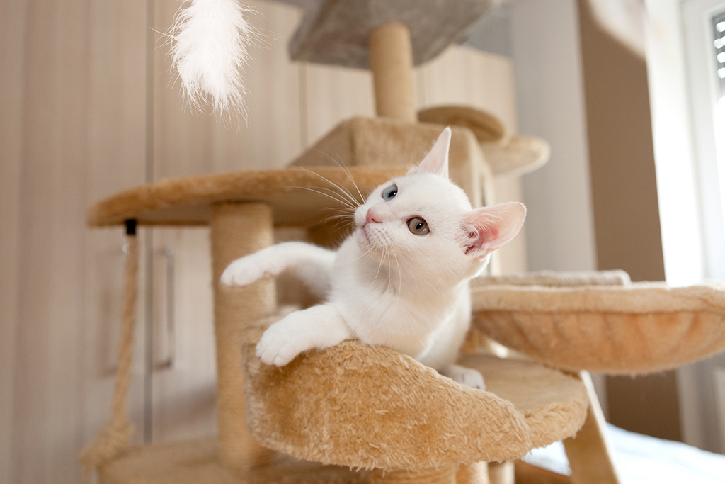 playful young white unicolored cat looking at feather