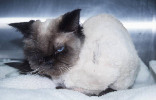 Cat with weight loss due to loss of appetite and muscle loss (cachexia).