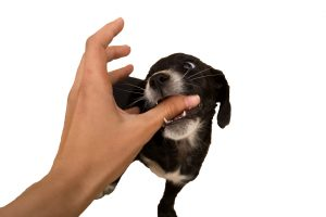 Black puppy bites a man's hand isolated on white background