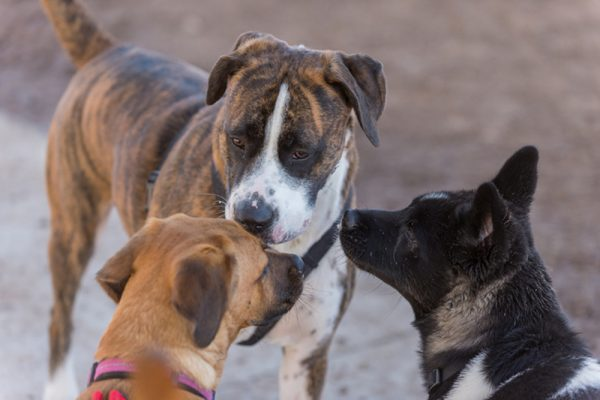 three dogs at dog park socializing close up on faces